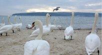 Birçok su kuşu türü kışlamak için Bulgaristan'ı seçiyor