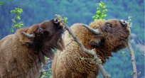 Avrupa bizonları Doğu Rodoplara geri döndüler